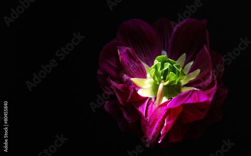 Purple dahlias flower on black background.