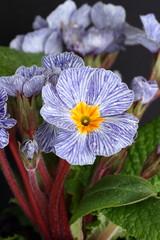 Blue striped primrose