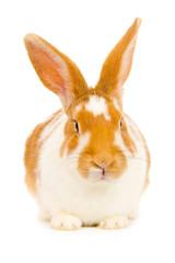 Rabbit isolated