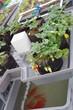 aquaponie fraise - 80459499