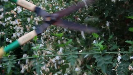 shears cutting hedge