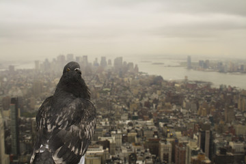 Duif op empire state building