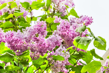 Flowering branch of lilac close up, backlit