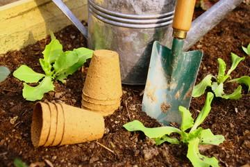 plants de salade en terre,au potager