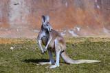 standing female Red kangaroo, Megaleia rufa,
