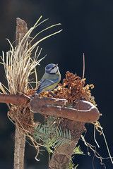Blue tit in nest - spring