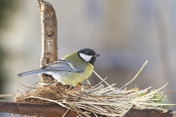 Great tit on nest - spring