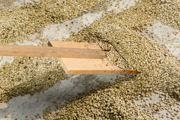 mixing organic coffee beans with wooden paddle in Guatemala