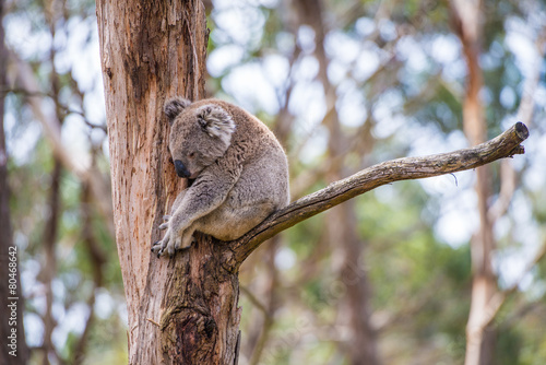 Plexiglas Koala Close up of koala at sanctuary in Australia