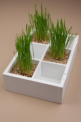 Green grass in decorative white box