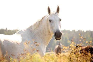 Portrait of white horse in sunset