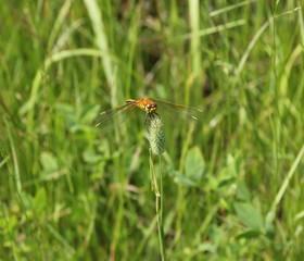 Yellow dragonfly sits on a stalk sedge meadow with blurred backg