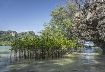 Mangroven - Krabi - Thailand