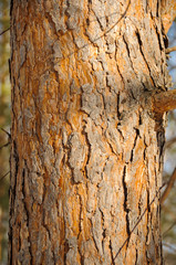 Bark of the pine-tree