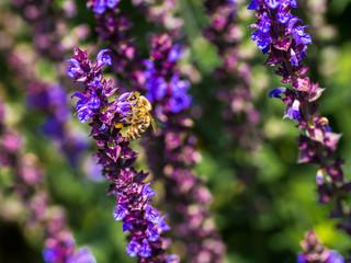 Honigbiene amüsiert sich an den Blüten