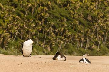 Australian pied cormorants resting on sandy beach