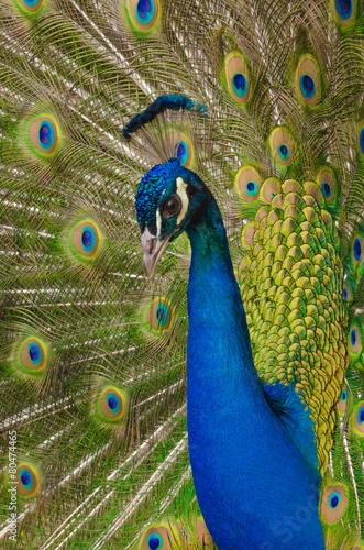Foto op Canvas Pauw Pfau