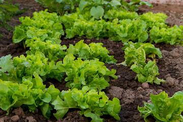 Salatfeld ©yvonneweis