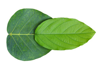 Leaf a white background