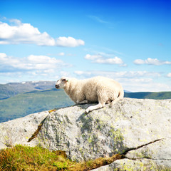 Wool lamb in mountains