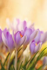 Krokusblüten ©yvonneweis