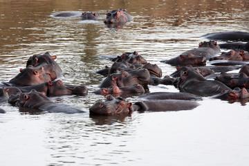 Hippopotamus masai mara river kenya