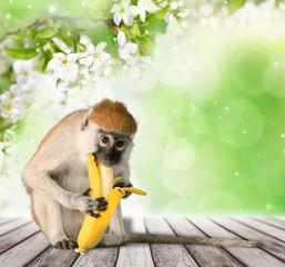 Monkey. The monkey sits and eats banana. isolated on white