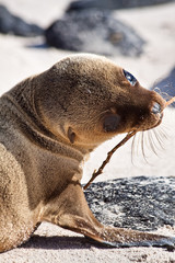 Closeup portrait of baby sea lion sunbathing in a beach at the