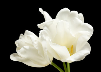 Beautiful white tulips on black background