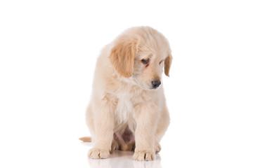 Sad Golden Retriever puppy looking down