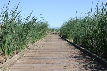 Boardwalk through tall reeds