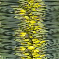 yellow daffodils  in zinc bawl