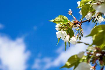 桜(大島桜)