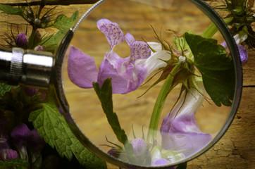 Urtica dioica قراص كبير Ortica Stinging nettle Крапива двудомная