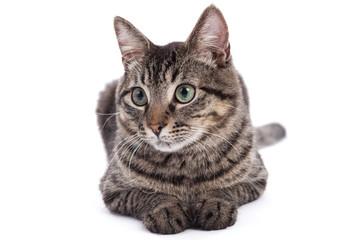 Domestic Shorthair Cat Portrait