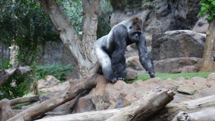 Isolated Gorilla
