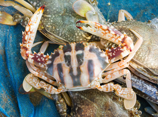 Raw red blue crab