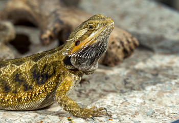 Portrait of an exotic tropical reptiles bearded dragon. Selectiv
