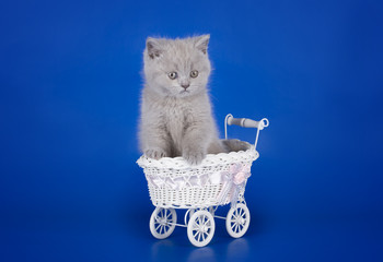 little kitten playing in the stroller