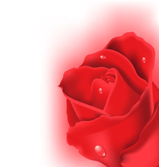 Red rose for design your celebration card