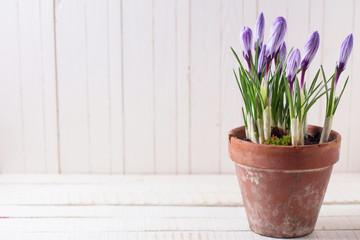 Fresh spring flowers crocuses