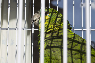 caged parrot