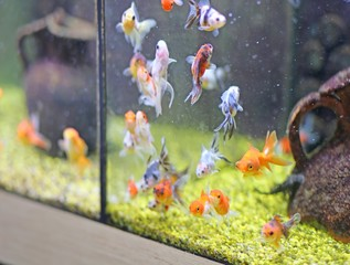 goldfish for sale in pet shop Aquarium