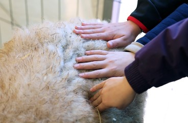three hands of children feel the softness of wool of the sheep