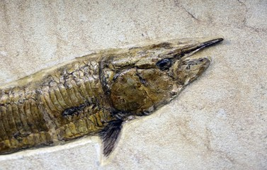 ancient Mesozoic age fossil fish in the rock