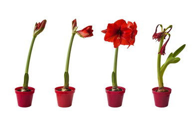 The sequence of the flowering Hippeastrum red