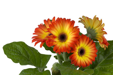 two colors gerbera  isolated on white background