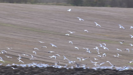 Hungry birds flock together looking for food in freshly ploughed soil