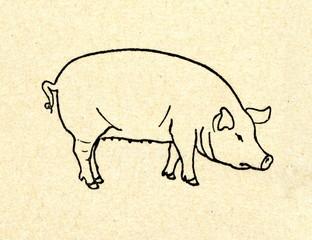 Domestic pig (Sus domesticus)