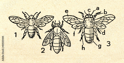 Tuinposter Bee Western honey bee: worker (1), queen (2), drone (3)